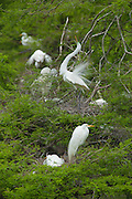 Displaying Great Egret with others perched and on nests