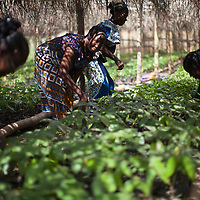 Women cocoa farmers with the SCINPA coop help run a large cocoa nursery. As climate change is causing droughts that are killing off large quantities of cocoa trees, the coop set up the nursery to grow replacement trees. The nursery is run only by women.