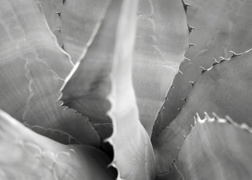 Black and white detail view of an agave plant.