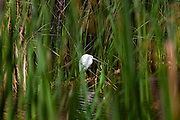 Snowy Egret, Ballona Wetlands, Playa Del Rey, Los Angeles, California, USA