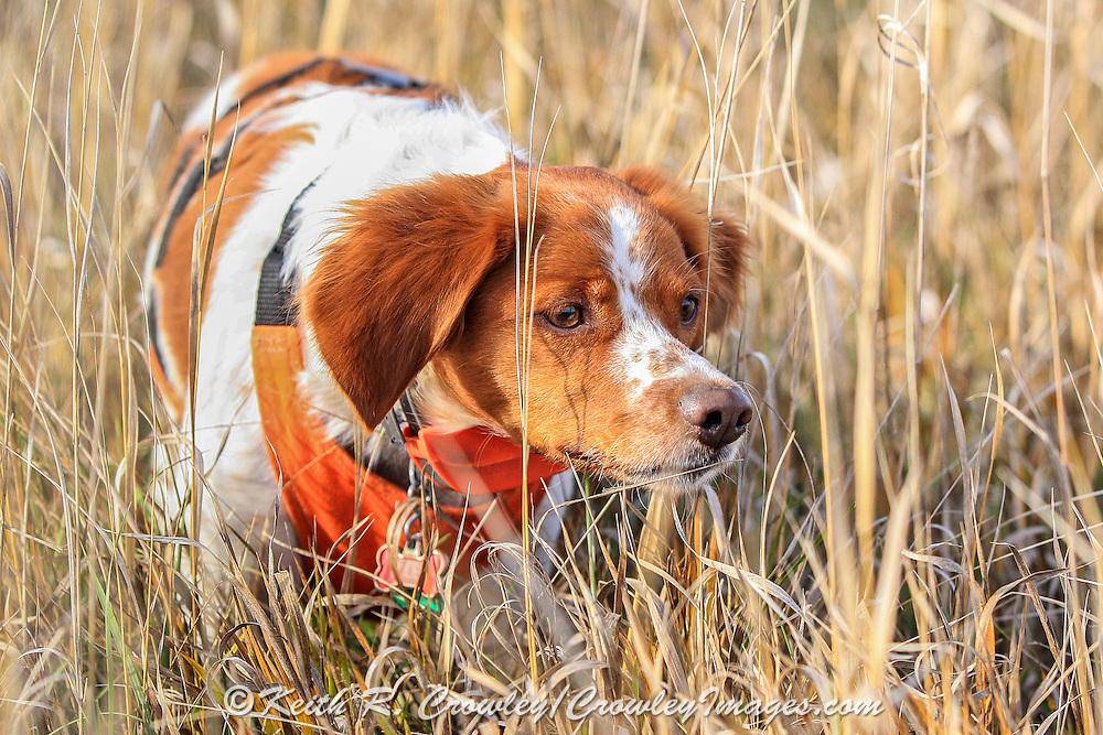 Brittany Spaniel afield during a pheasant hunt in South Dakota