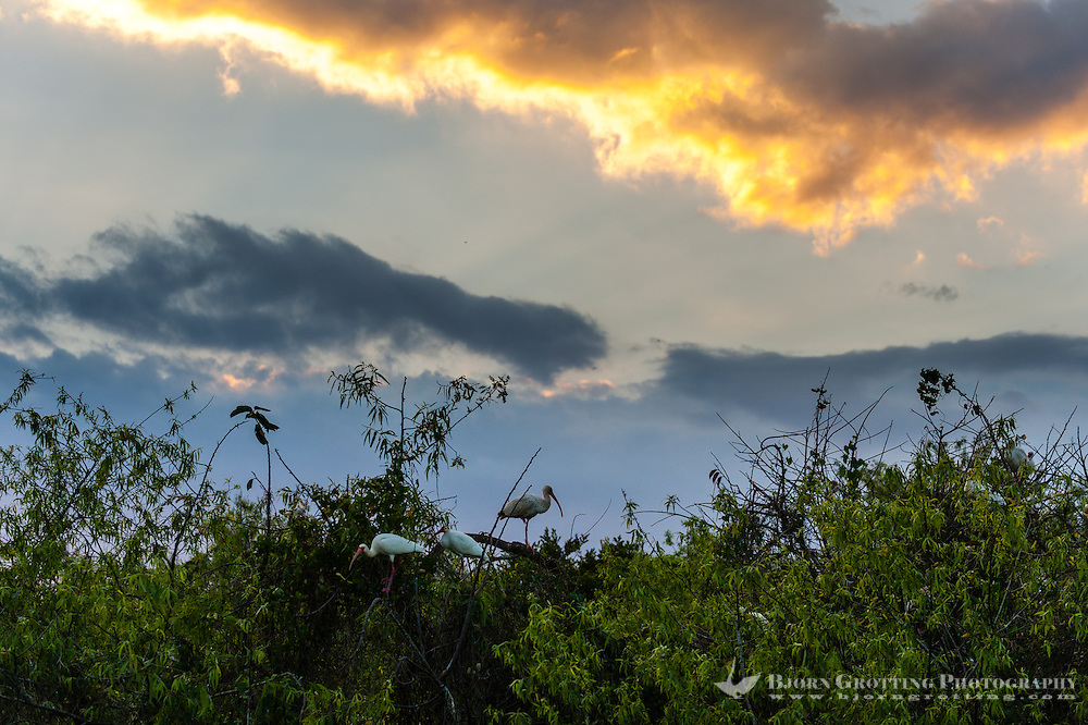 US, Florida, Everglades, Shark Valley. White Ibis in the sunset.