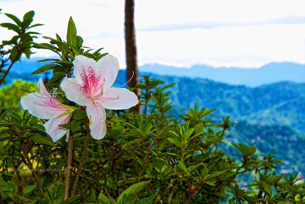 Morning flower overlooking the Cordillera Mountain range in the province near Baguio City