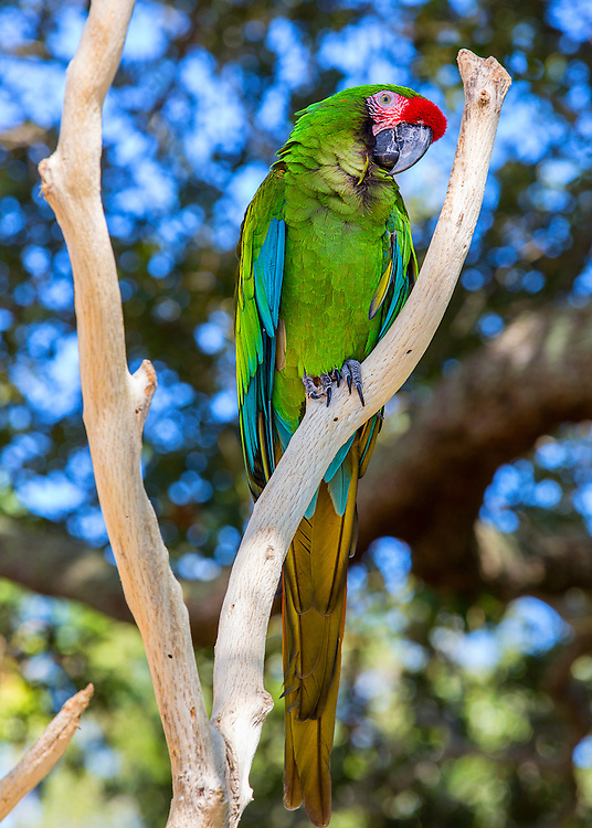 Beautiful green macaw hanging out in a tree at Sea World in Orlando, Florida.