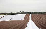 A tractor and team of workers laying out protective fleecing over a potato crop, Butley, Suffolk, England