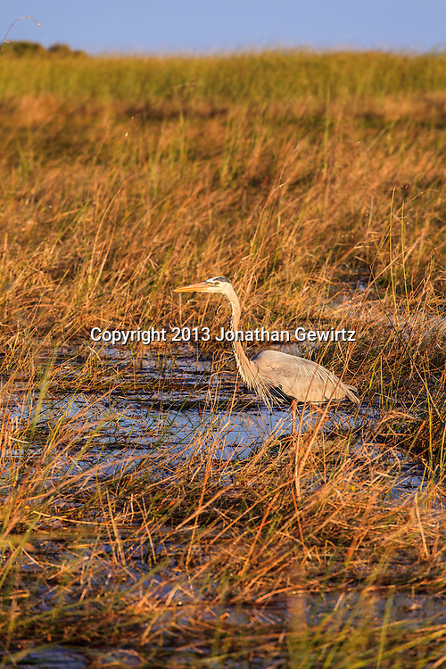 A Great Blue Heron (Ardea herodias) stalking prey on flooded sawgrass prairie in the Shark Valley section of Everglades National Park, Florida. WATERMARKS WILL NOT APPEAR ON PRINTS OR LICENSED IMAGES.