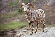 A bighorn sheep walks in Glacier National Park. Missoula Photographer, Missoula Photographers, Montana Pictures, Montana Photos, Photos of Montana