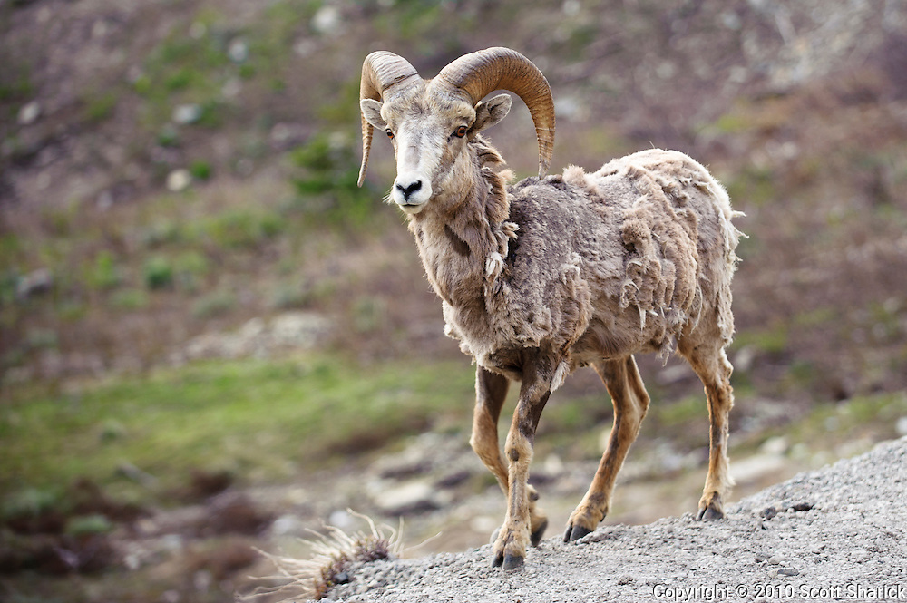 A bighorn sheep walks in Glacier National Park. Missoula Photographer, Missoula Photographers, Montana Pictures, Montana Photos, Photos of Montana