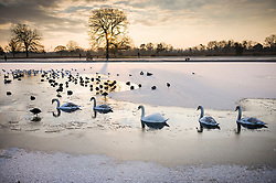 © Licensed to London News Pictures. 11/02/2021. London, UK. Swans navigate their way through pond ice at a freezing Bushy park in south west London. Overnight temperatures reached -5C in parts of the south east. Photo credit: Peter Macdiarmid/LNP