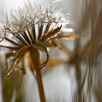 Back lit wild flower in the deserts of Antelope Valley, California, USA.