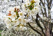 Nederland, Ubbergen, 6-4-2091Een wilde fruitboom op de Elysese velden, een natuurgebied in de heerlijkheid Beek staat in volle bloei . De bossen op  de stuwwal zijn een geliefde wandellokatie . De stuwwallen zijn gevormd in de laatste ijstijd.Foto: Flip Franssen