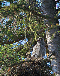Great Grey Owl chick at owl nest in Yellowstone National Park