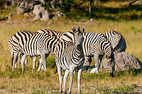 Herd of zebras, near Kwara Camp, Okavango Delta, Botswana.