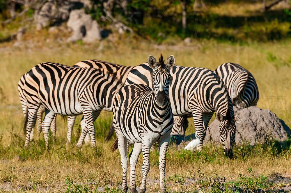 Herd of zebras, near Kwara Camp, Okavango Delta, Botswana.