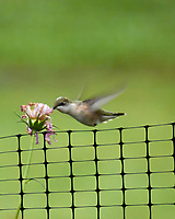 Ruby-throated Hummingbird and Cosmos flower. Image taken with a Nikon 1 V3 camera and 70-300 mm VR lens.