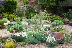 Self seeding plants in gravel including Crambe maritima (Sea Kale), Dianthus 'Mrs Sinkins' and white Helianthemum