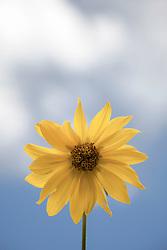 Balsomroot, wildflowers of Wyoming