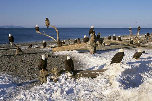 Bald Eagle (Haliaeetus leucocephalus).   Adults perched along Kachemak Bay,  Alaskan Peninsula.