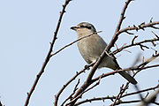 The pale black mask, gray head, and scalloping on the breast all indicated that this was a first-year Northern Shrike.