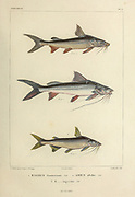 Arius and Bagrus catfish hand coloured sketch From the book 'Voyage dans l'Amérique Méridionale' [Journey to South America: (Brazil, the eastern republic of Uruguay, the Argentine Republic, Patagonia, the republic of Chile, the republic of Bolivia, the republic of Peru), executed during the years 1826 - 1833] Volume 5 Part 1 By: Orbigny, Alcide Dessalines d', d'Orbigny, 1802-1857; Montagne, Jean François Camille, 1784-1866; Martius, Karl Friedrich Philipp von, 1794-1868 Published Paris :Chez Pitois-Levrault. Publishes in Paris in 1847