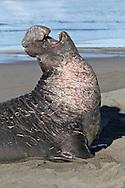 Northern Elephant Seal - Mirounga angustirostris