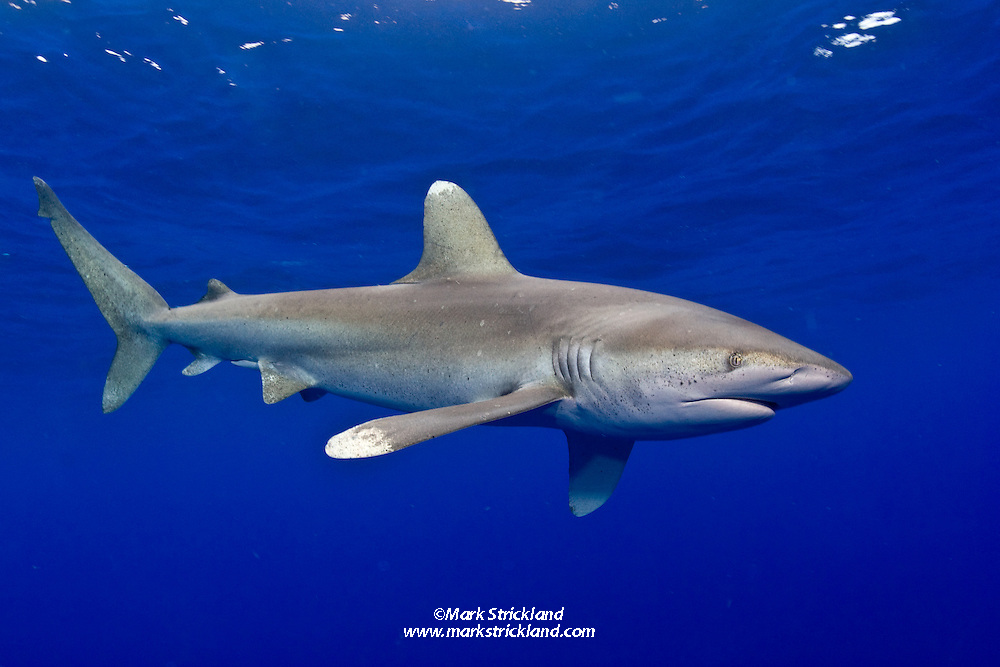 A large male Oceanic Whitetip Shark, Carcharhinus longimanus. This species is one of the few truly pelagic sharks, rarely coming within sight of land. Once common throughout the world's deep tropical and subtropical seas, their population has been decimated by commercial fishing in recent years, particularly longlining.  Bahamas, Atlantic Ocean. Filename: 2008july01owts121