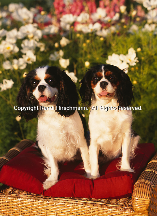 """Cavalier King Charles Spaniel, AKC,  8-month-old """"Kihei"""" and 17-month-old """"Suicre""""  photographed in Palmer, Alaska and owned by Ray and Leslie Hysom of Anchorage, Alaska.  (Pet Release)"""