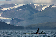 Male and female Orcas (Orcinus orca) surfacing in Favorite Channel with Herbert Glacier in background in Southeast Alaska. Summer. Evening.