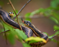 Pair of Gater snakes mating in a tree (larger female in focus). Image taken with a Fuji X-H1 camera and 80 mm f/2.8 macro OIS lens (ISO 1600, 80 mm, f/2.8, 1/120 sec)