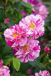 Rosa gallica var. officinalis 'Versicolor' - Rosa mundi rose, Apothecary's rose, French rose