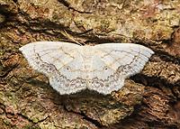 Geometrid moth -  Scopula Sp.  Atracted to UV light.  Fort Mountain State Park, GA USA.