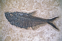 Fossil of a Knighita, most common herring in the Green River Formation in Southwest Wyoming.