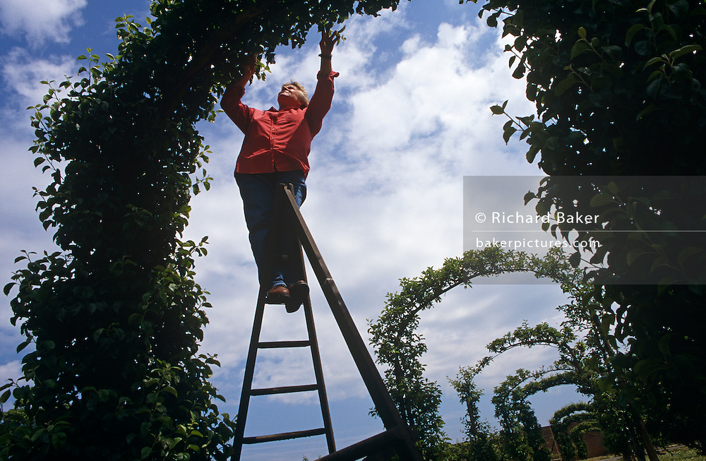 Pat Marden rreaches up to attend an arch of apples at the East Malling Research, Kent, England that provides science-based plant and food solutions to industry and Government. As a  Horticultural Technician Pat and her colleagues work for this organisation which is the principal UK provider of top-class horticultural research and development for the perennial crops sector. They have for example, genetically fingerprinted all 2300 apples and over 250 pears of the National Fruit Collection and used DNA markers called microsatellites to produce individual profiles for trees. Looking upwards we see Pat balanced on a tapering ladder to reach leaves and branches that form this feature in the laboratory gardens and which has eight similar arches.