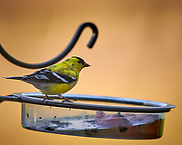 American Goldfinch at the Bird Feeder. Image taken with a Nikon D4 camera and 600 mm f/4 VR telephoto lens