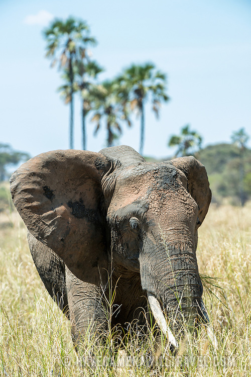 An elephant in the long grass at Tarangire National Park in northern Tanzania not far from Ngorongoro Crater and the Serengeti.
