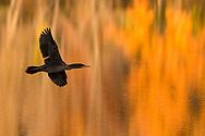 Middletown, New York -  Birds at the lake at Fancher-Davidge Park at sunset on Nov. 6, 2017.