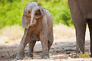 A young desert-adapted elephant calf (Loxodonta africana) clumsily playing with its trunk, Skeleton Coast, Namibia,Africa