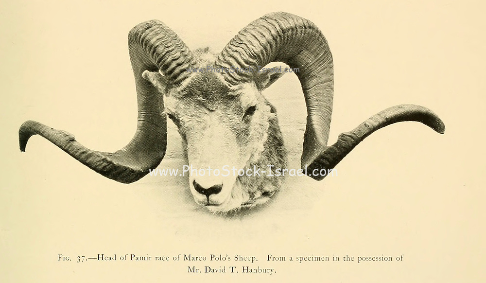 Head and horns of the Marco Polo sheep (Ovis ammon polii) [Here as  Ovis poli] is a subspecies of argali sheep, named after Marco Polo. Their habitat is the mountainous regions of Central Asia. Marco Polo sheep are distinguishable mostly by their large size and spiraling horns. illustration From the book ' Wild oxen, sheep & goats of all lands, living and extinct ' by Richard Lydekker (1849-1915) Published in 1898 by Rowland Ward, London