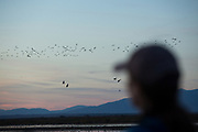 The Salton Sea is located in Riverside and Imperial Counties, south-east of San Diego in the Coachella valley.  A historically important feeding ground for migrating birds along the pacific flyway, it has only become moreso over the past 100 years, as 91% California's wetlands have dissapeared.  <br /> 200,000 birds feed daily in the Salton Sea's 219,000 acres of wetlands.  The sea itself has been slowly shrinking and becoming saltier despite mitigating efforts of Imperial Irrigation District (IID) and other local, regional and federal agencies. The increasing salinity, along with other factors, has led to the near dissapearance of fish but has also led to the introduction of different invertebrate food sources for new species of birds, particularly waterfowl. <br /> Delivery of fresh water to help maintain the lake level ended on December 31, 2018. The State of California in partnership with Fish and Game, IID and other agencies have developed a plan that will expand wetlands and some fish habitat on the perimiter of the lake, while allowing the lake to shrink and saltify naturally.<br /> In this image, birds and birders at the Sonny Bono Salton Sea National Wildlife Refuge.  The SBSSNWR is a federally-managed network of wetlands and fields.