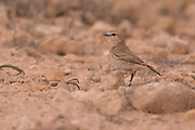 Female Northern Wheatear (Oenanthe oenanthe) an Old World flycatcher, Photographed in Israel in March