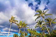 Coconut palms, Kohala Coast, The Big Island, Hawaii USA