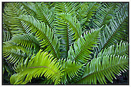 sword ferns (Polystichum munitum)