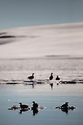 Silhouetted Black Guillemots, Cepphus Grylle, in a lagoon in Woodfjorden, Svalbard. Common Eider in the background, on some fast ice.
