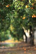 Israel, Citrus Grove, Wet ripe Oranges on a tree after rain
