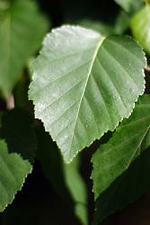 Birch Tree leaf