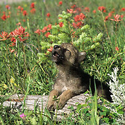Gray Wolf, (Canis lupus) Pup howling in field of blooming Red Indian Paintbrush flowers. Southwest Montana. Spring. Captive Animal.