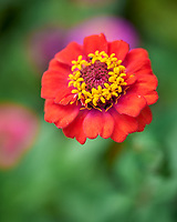 Red Zinnia. Image taken with a Leica SL2 camera and Sigma 70 mm f/2.8 macro lens