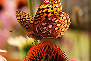 Macro photography Fritillary Butterfly