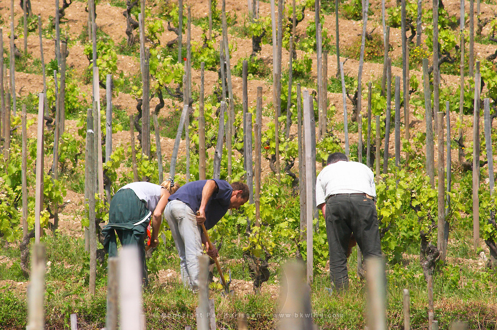 Vineyard workers manually clearing from weeds in the vineyard with bent backs In the vineyard Le Pavillon of M Chapoutier on the Hermitage hill, sandy and pebbly soil.   Domaine M Chapoutier, Tain l'Hermitage, Drome Drôme, France Europe