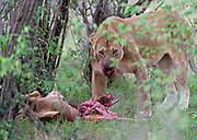 A lioness with a newly killed topi antelope in Maasai Mara, Kenya.